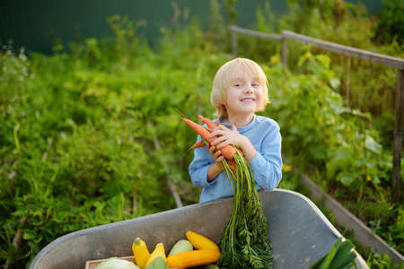Little boy helps family to harvest of organic homegrown vegetables at backyard of farm. Child put on fresh carrot in whelbarrow and having fun. Healthy vegetarian food. Local business. Harvesting.