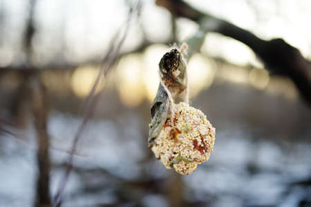Homemade cookie made from seeds and cereals on a tree branch for the birds. Care of animals and birds during winter season. Wintertime activity for family with kids