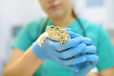Veterinarian examines a toad in a veterinary clinic. Exotic animals. Health of pet. Animal care. Pet checkup, tests and vaccination.