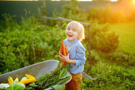 Little boy helps family to harvest of organic homegrown vegetables at backyard of farm. Child put on fresh carrot in whelbarrow and having fun. Healthy vegetarian food. Small business. Harvesting.
