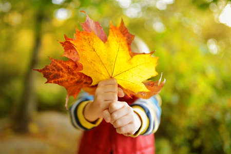 Little boy having fun during stroll in forest at sunny autumn day. Child covers her face with maple leaves. Hiking with little kids. Autumn outdoor activity for family with kids. Stockfoto