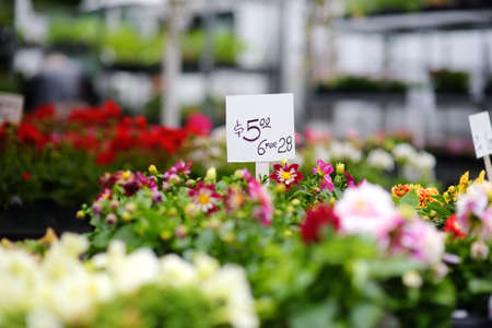 Plants in garden center or street market. Sale of varietal seedlings of flowers in pots. Sprouts of dahlias. Season of planting flowers. Variety. Small business