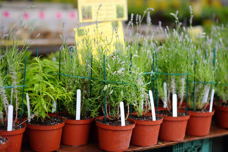 Plants in garden center in early springtime. Sale of varietal seedlings of herbs and flowers in pots. Organic sprouts of lavender. Season of planting herbs and vegetables.