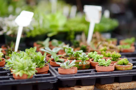 Plants in garden center. Sale of varietal seedlings of herbs, flowers and plants in pots. Variety of succulents. Decorative houseplant for interior design.