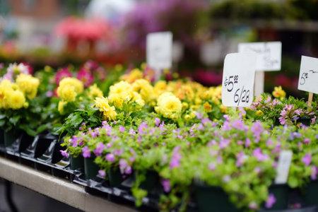 Plants in garden center or street market. Sale of varietal seedlings of flowers in pots. Sprouts of dahlias. Season of planting flowers. Variety. Standard-Bild