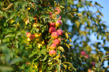Lots of ripe red apples on the tree in orchard. Harvesting of apples in the domestic garden in summer or autumn day. Fruits for sale. Small local business. Standard-Bild