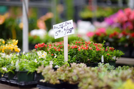 Plants in garden center or street market. Sale of varietal sprouts and seedlings of flowers in pots. Season of planting flowers. Variety.