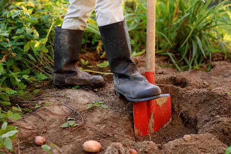 Woman shod in boots digs potatoes in her vegetable garden. Growing organic veggies herself. Gardening tools for farmers. Small business