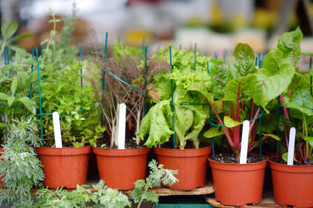 Plants in garden center in early springtime. Sale of varietal seedlings of herbs, salad, veggies and flowers in pots. Organic sprouts. Season of planting herbs and vegetables.