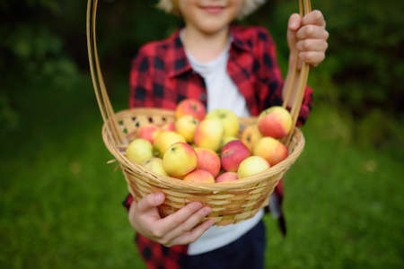 Little boy picking apples in orchard. Child holding straw basket with harvest. Harvesting in the domestic garden in autumn. Fruit for sale. Small local business.