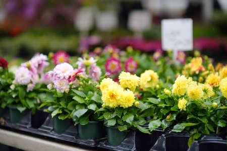 Plants in garden center or street market. Sale of varietal seedlings of flowers in pots. Sprouts of dahlias. Season of planting flowers. Variety. Local business Standard-Bild
