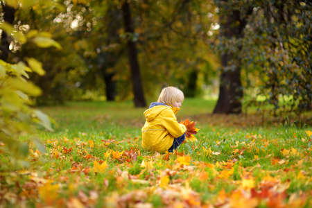 Little boy having fun during stroll in the forest at sunny autumn day. Child playing maple leaves. Active family time on nature. Hiking with little kids. Leaves rustle. Standard-Bild