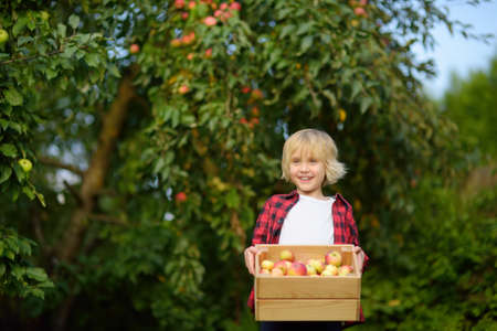 Little boy picking apples in orchard. Child holding wooden box with harvest. Harvesting in the domestic garden in autumn. Fruit for sale. Small local business. Standard-Bild