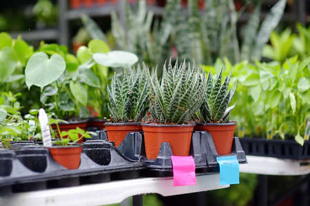 Plants in garden center. Sale of varietal seedlings of herbs, flowers in pots. Sansevieria trifasciata of family Asparagaceae or mother-in-law's tongue. Snake plant home