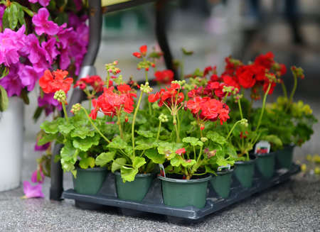 Plants in garden center or street market. Sale of varietal seedlings of flowers in pots. Sprouts of geranium. Red, pink and white pelargonium. Season of planting flowers. Variety. Standard-Bild