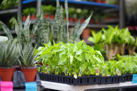 Plants in garden center in early springtime. Sale of varietal seedlings of herbs, veggies and flowers in pots. Organic sprouts of paprika. Season of planting herbs and vegetables.