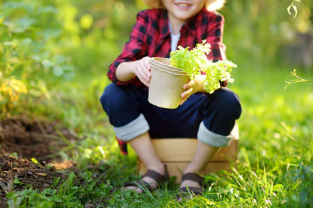 Little boy holding seedling of salad in pots on the domestic garden at summer sunny day. Family gardening activity with little kid Standard-Bild