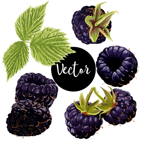 A Vector Blackberry Illustration Set.