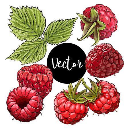 赤ラズベリーのベクトル図  イラスト・ベクター素材