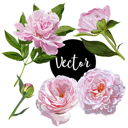 Vector Pink Peonies Illustration Set