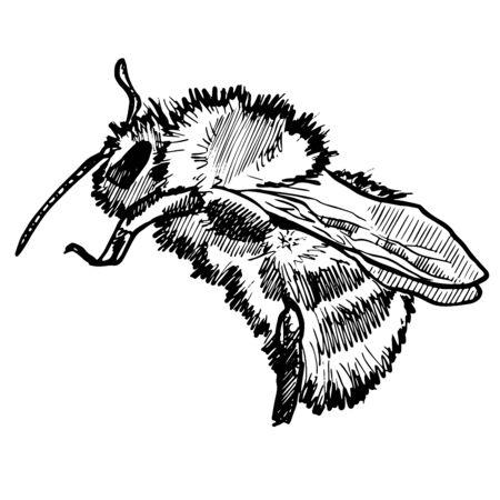 VectorHand Drawn Ink Bumblebee Sketch Illustration Zdjęcie Seryjne