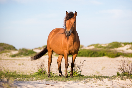 Wild Pony (Equus caballus) at Assateague Island National Seashore, Maryland