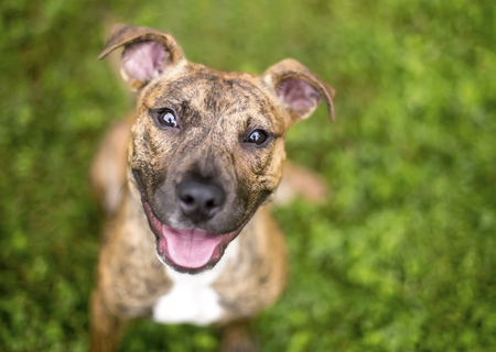 Outdoor portrait of a young brindle mixed breed puppy