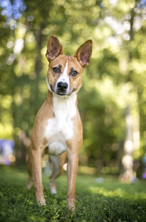 Outdoor portrait of a red and white mixed breed dog Imagens