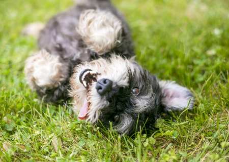 A happy, playful mixed breed dog rolling in the grass
