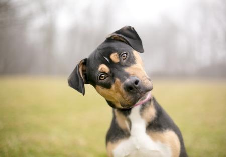 un perro pastor raza tricolor escuchando atentamente con un fondo de niebla