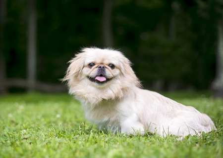Portrait of a Pekingese mix dog outdoors in the grass