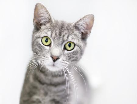 Portrait of a gray tabby domestic shorthair cat