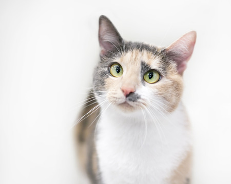 Portrait of a cross-eyed Dilute Calico cat