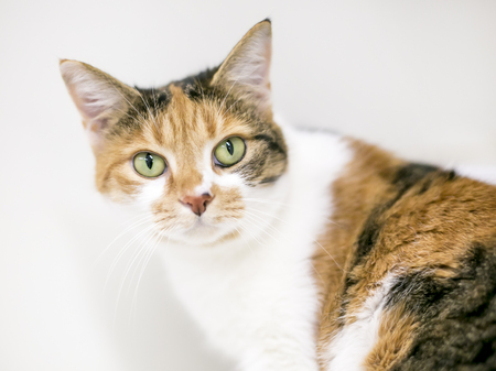 Portrait of a domestic shorthaired Calico cat Stock Photo