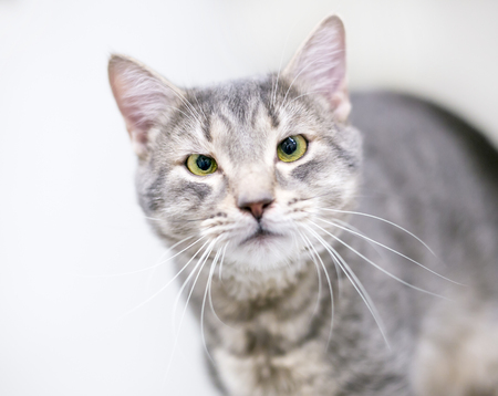A cross-eyed gray tabby domestic shorthaired cat