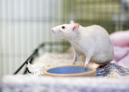 A white Fancy Rat or domesticated rat