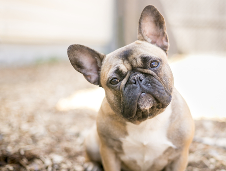 A fawn colored French Bulldog