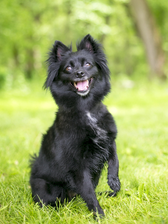 Portrait of a Schipperke mix dog outdoors Imagens - 94050595
