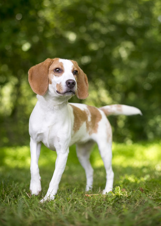 Portrait of a Foxhound dog outdoors Imagens