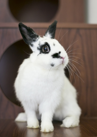 A domesticated black and white Dwarf rabbit