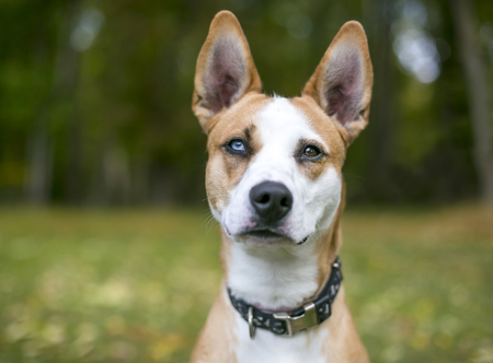 Portrait of a red and white mixed breed dog with heterochromia, one blue eye and one brown eye Imagens