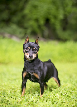 A black and tan Miniature Pinscher dog with cropped ears Stock Photo