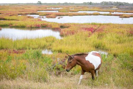 Wild pony (Equus caballus) at Assateague Island National Seashore, Maryland