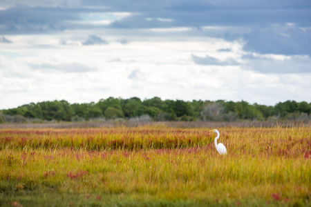 Great Egret (Ardea alba) wading at Assateague Island National Seashore, Maryland