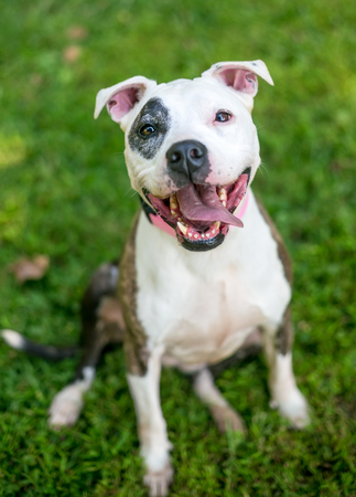 A happy Pit Bull Terrier mixed breed dog sitting in the grass Stock Photo