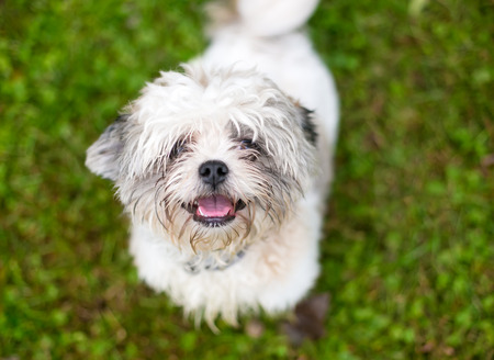 A scruffy Shih Tzu mixed breed dog outdoors