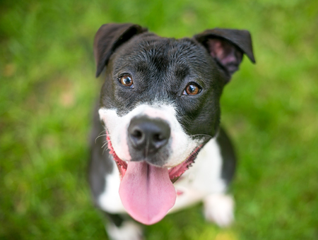 Portrait of a happy black and white Pit Bull Terrier mixed breed dog outdoors
