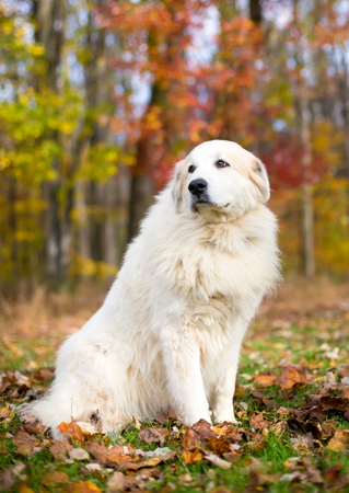 Portrait of a Great Pyrenees dog outdoors with colorful autumn leaves Reklamní fotografie