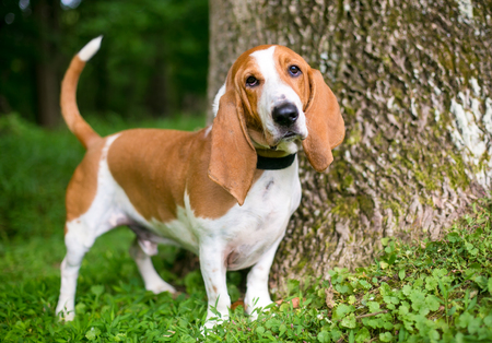 Portrait of a Basset Hound outdoors 스톡 콘텐츠