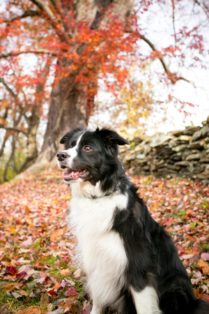 A Border Collie dog outdoors in the fall with colorful autumn leaves Stock Photo